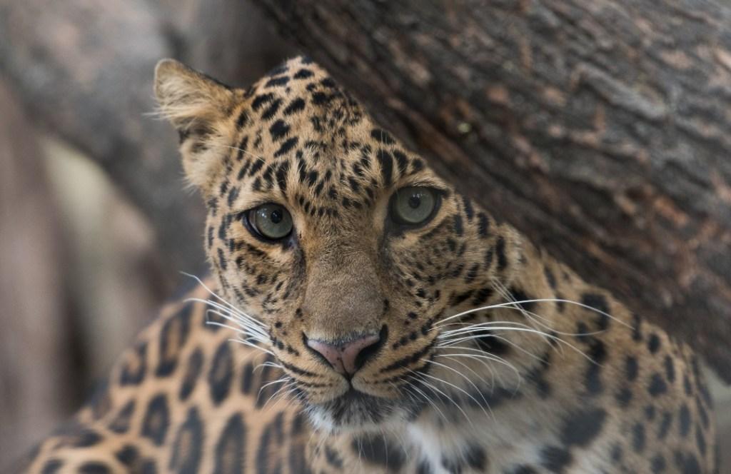 Día Mundial de la Conservación del Jaguar: cosas que no sabías sobre esta importante especie