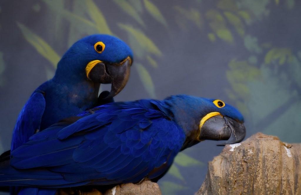 Nace guacamayo azul o Jacinto