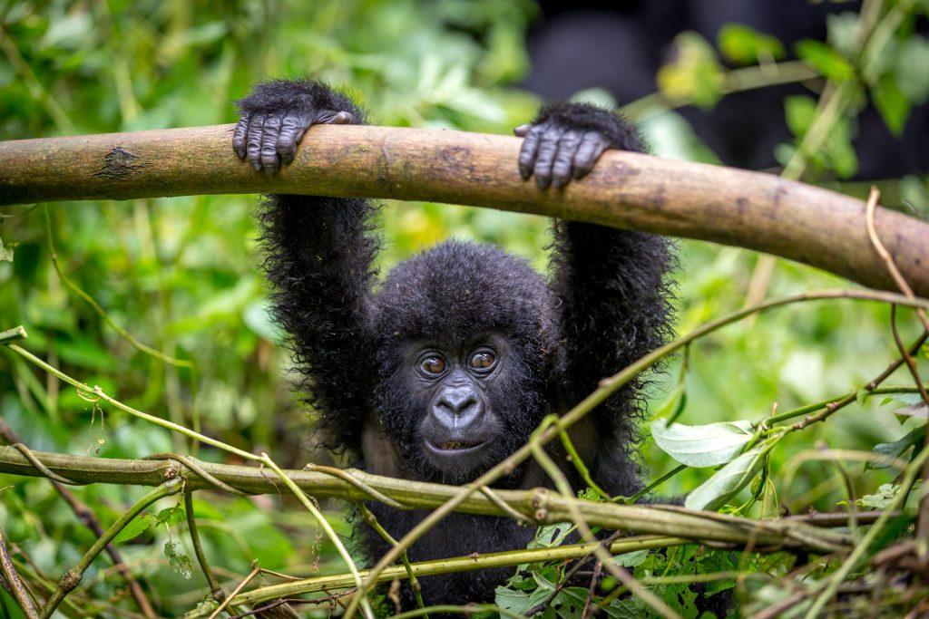 El Parque Nacional Virunga, santuario de gorilas de montaña en el Congo, en grave peligro