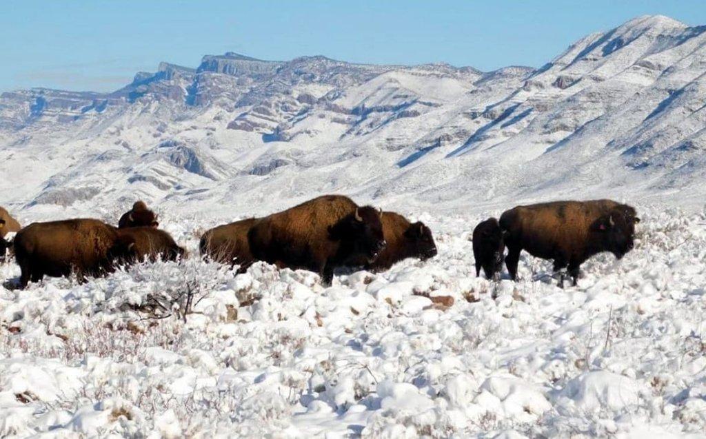 El bisonte blanco es visto en México luego de más de 100 años