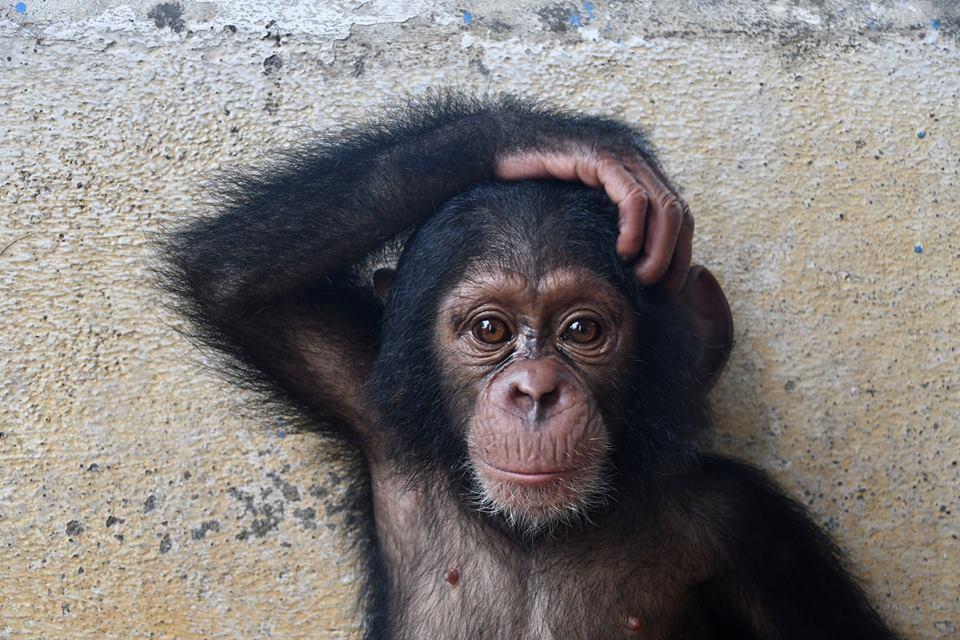 Esta pareja ha salvado a 65 chimpancés en Liberia