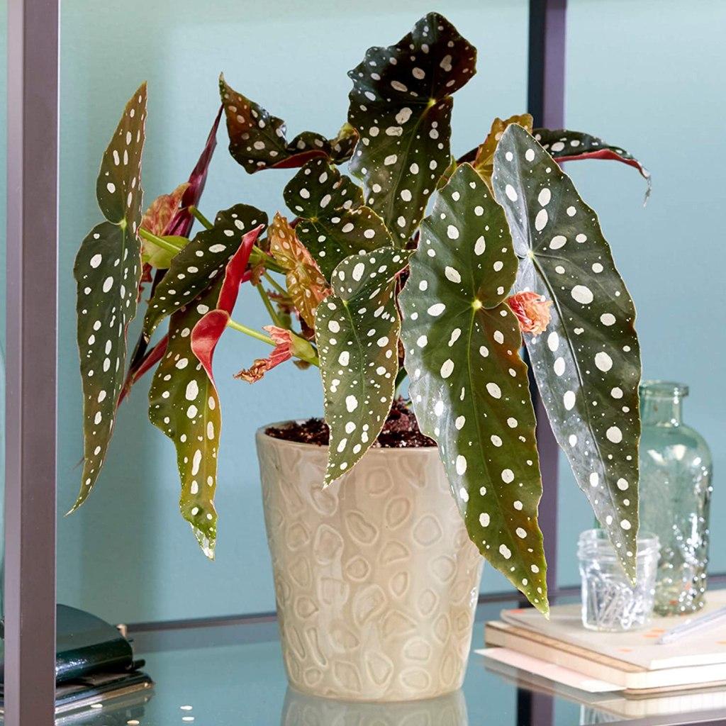 Begonia maculata puede ser tóxica para tu mascota