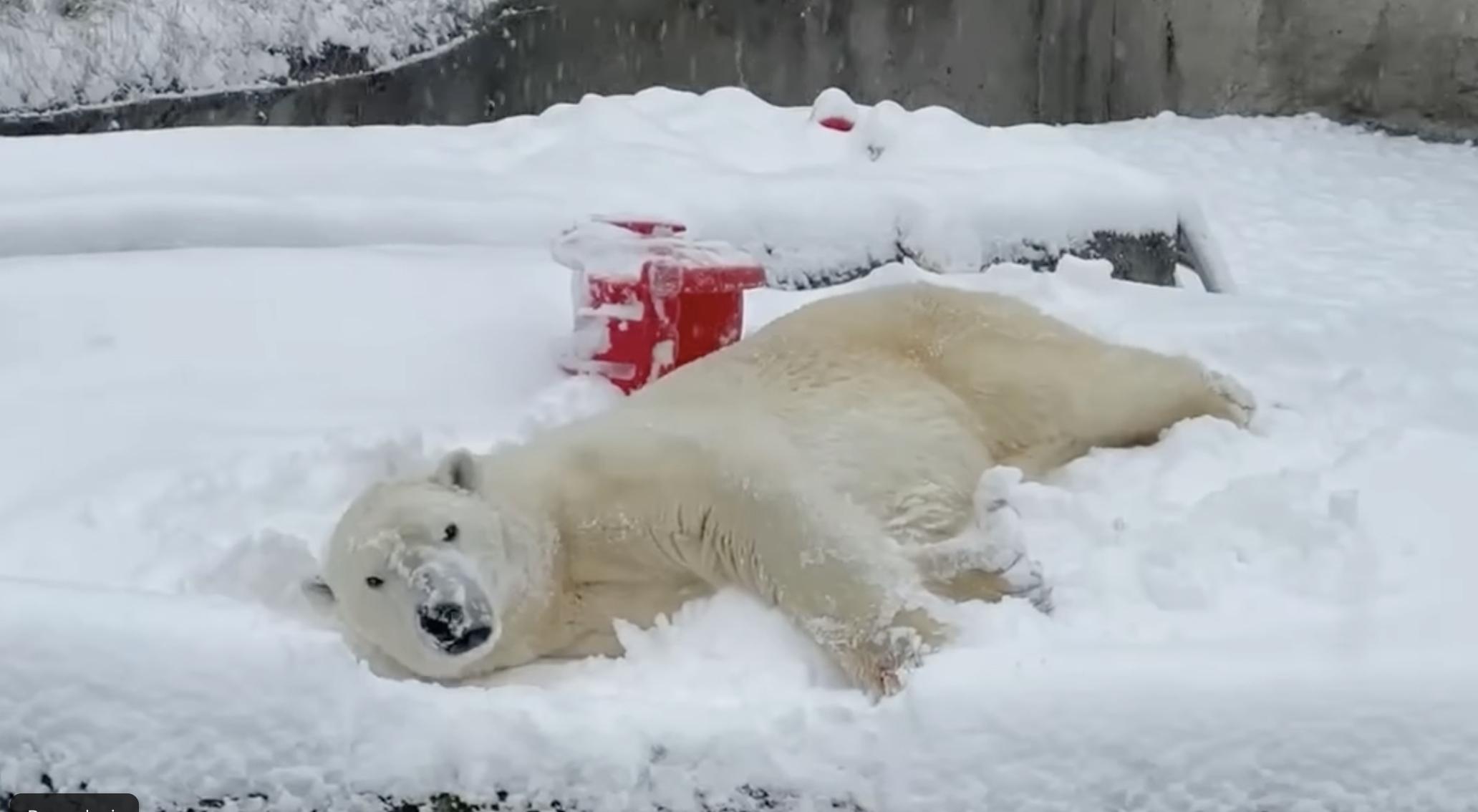 VIDEO: Este oso polar es el más feliz con las nevadas en EU