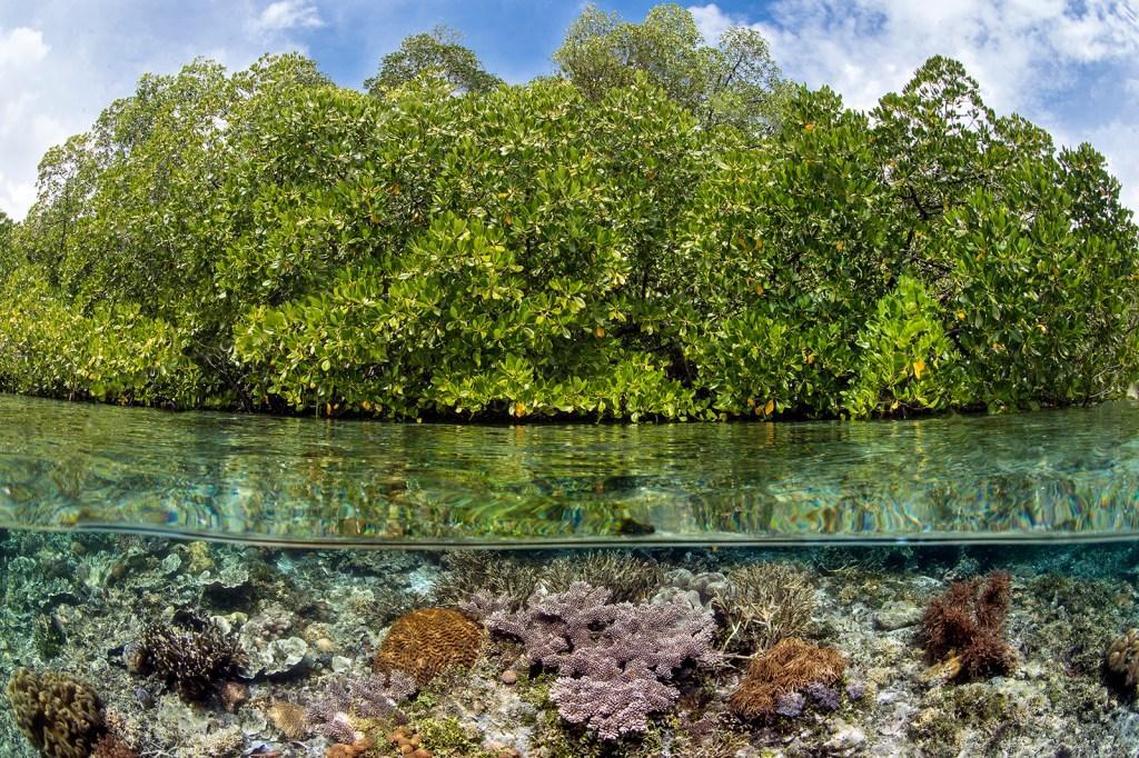 El proyecto de Dodo y Tēnaka para salvar manglares
