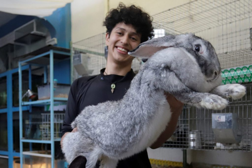 Un mexicano cría conejos gigantes de Flandes