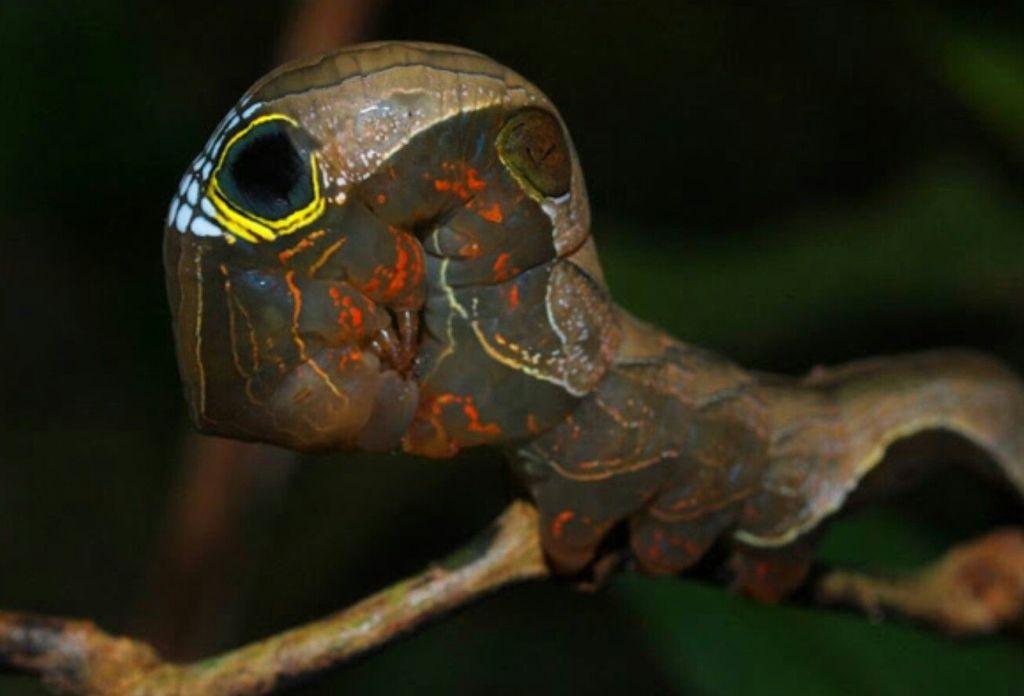 Conoce la Phyllodes imperialis, la oruga que carga una calavera en la espalda