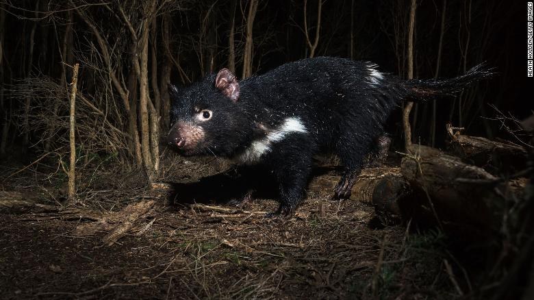 ¡Increíble! Nacen demonios de Tasmania en Australia después de tres milenios