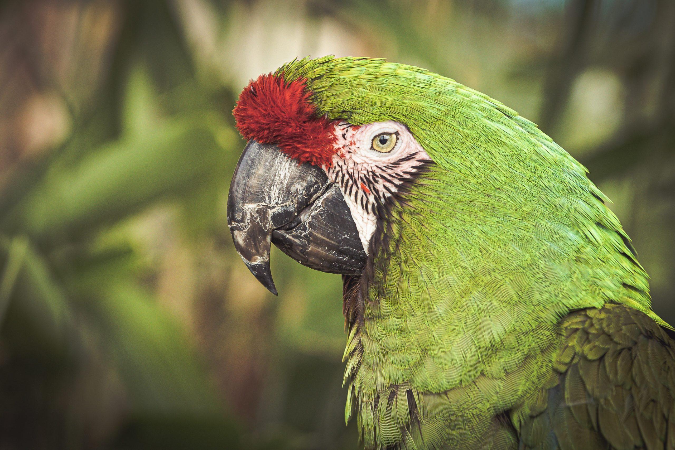 Adopta una guacamaya verde y sálvala de su extinción