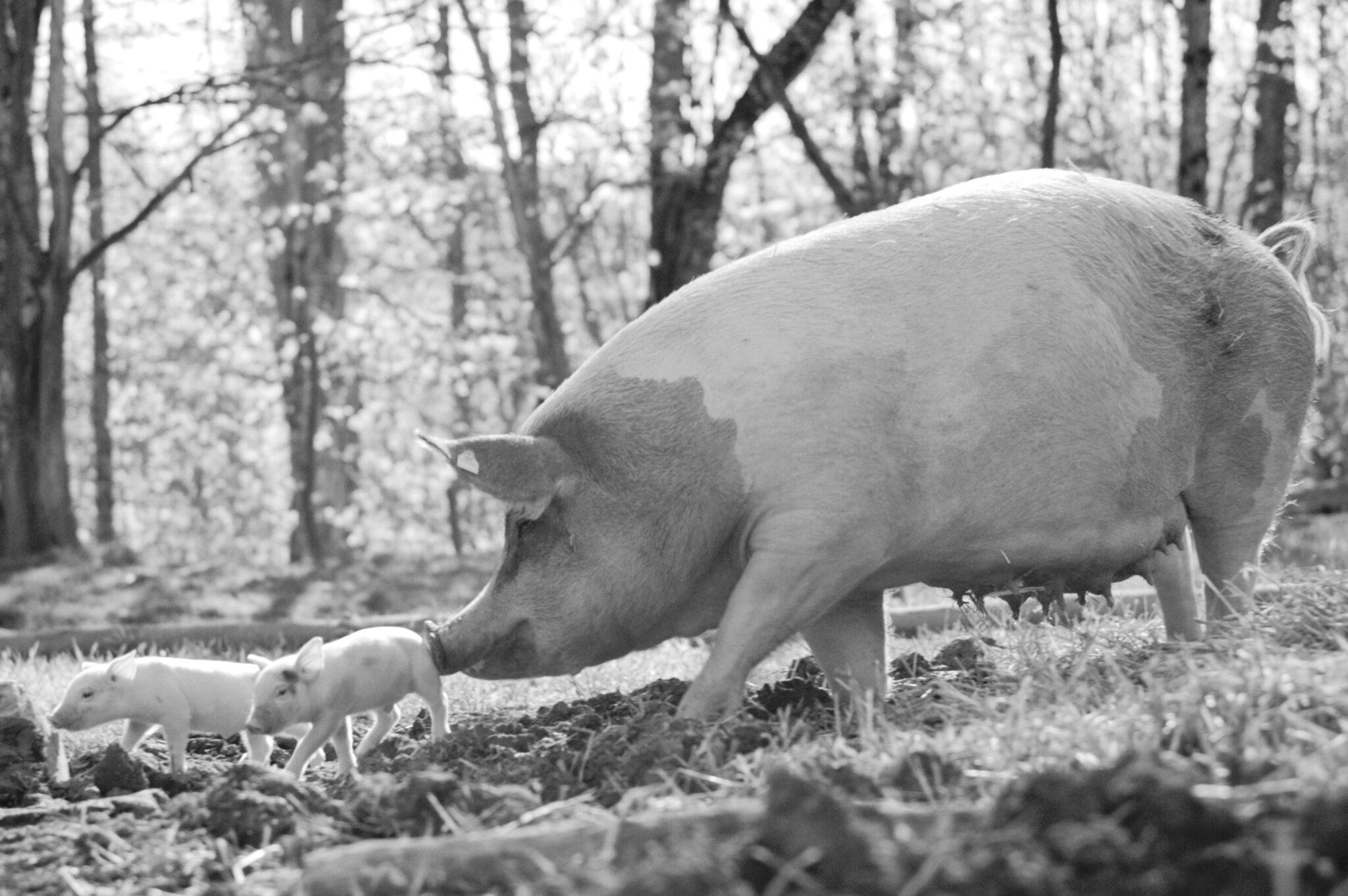 Gunda, el documental sobre los cerdos producido por Joaquin Phoenix, ya está disponible