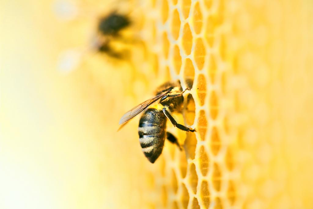 ¡Atención! Las abejas son vitales para que nunca nos falte comida