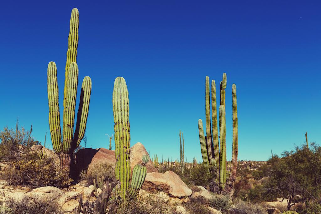 Opinión: ¿Por qué los cactus son tan importantes para la supervivencia humana?