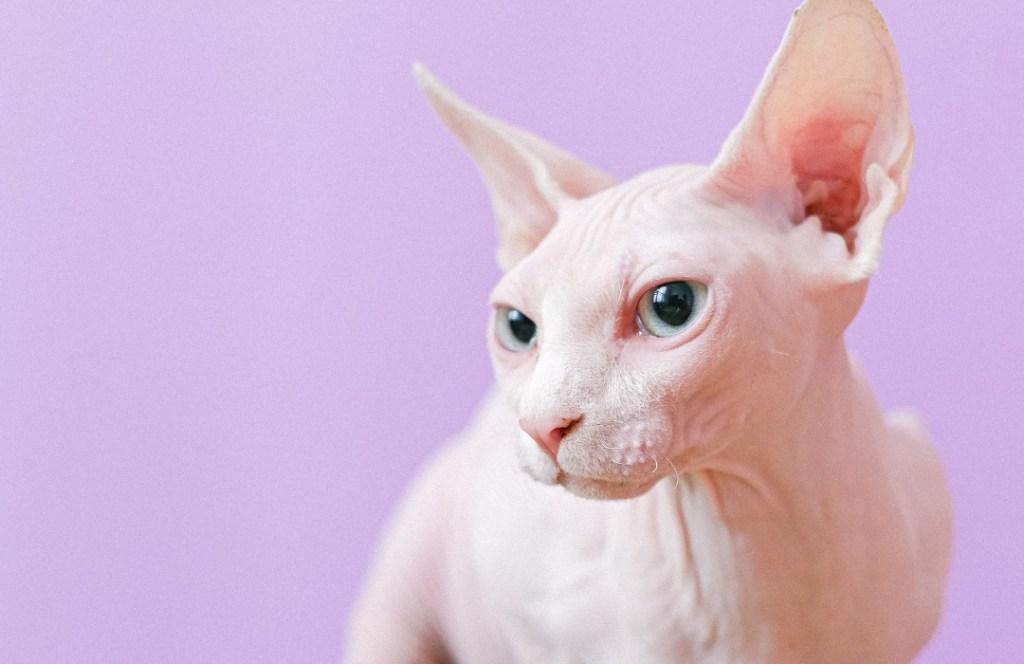 Estas son las razas de gatos que causan menos alergia