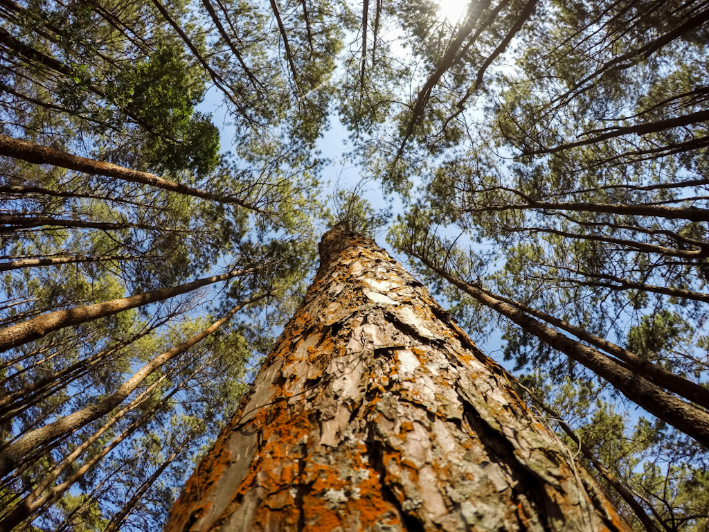 6 increíbles beneficios que nos aporta la resina de pino