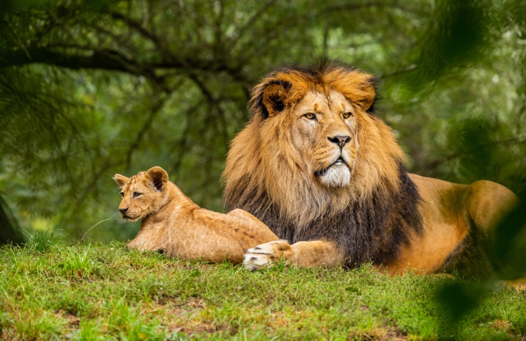 ¡Enhorabuena! Sudáfrica prohibirá la cría de leones para caza y turismo