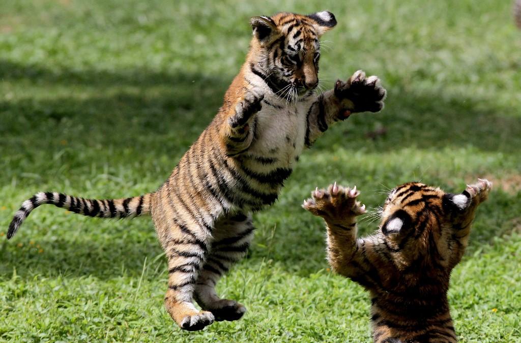 ¡Buenas noticias! 4 tigres de bengala nacieron en el zoológico de Guadalajara