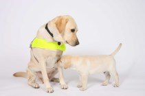 Guide dog and puppy portrait