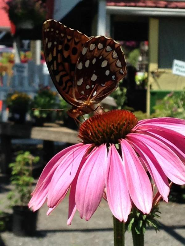 butterfly-on-echinacea