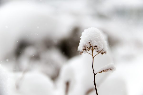 snow-topped seedpods