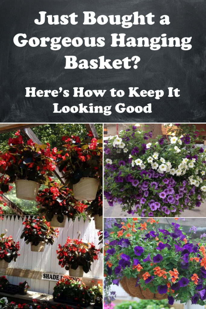 How to fertilize, water and care for hanging baskets