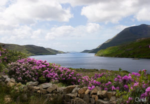 Rhododendren am Ufer des Killary Fjords