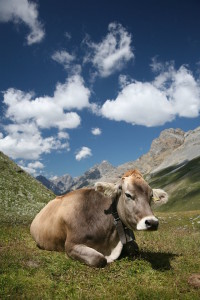 a cow lying in gras