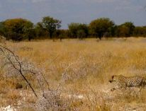 Spotted a Leopard...