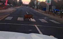 Warthog crossing in Botswana!!!