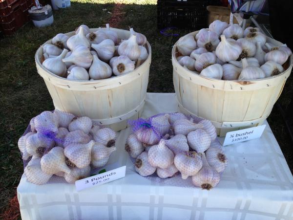 Bushel of garlic