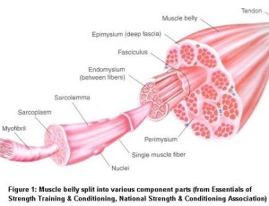 Muscle Physiology  Mr Wolf