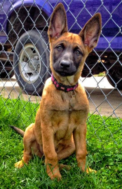 Belgian Malinois Puppies Upcoming Litters