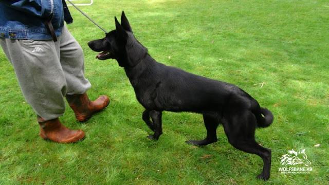 Do I Need A Trained Protection Dog?