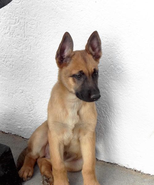 Belgian Malinois Dogs