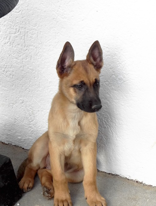 Beautiful Belgian Malinois at Great Prices