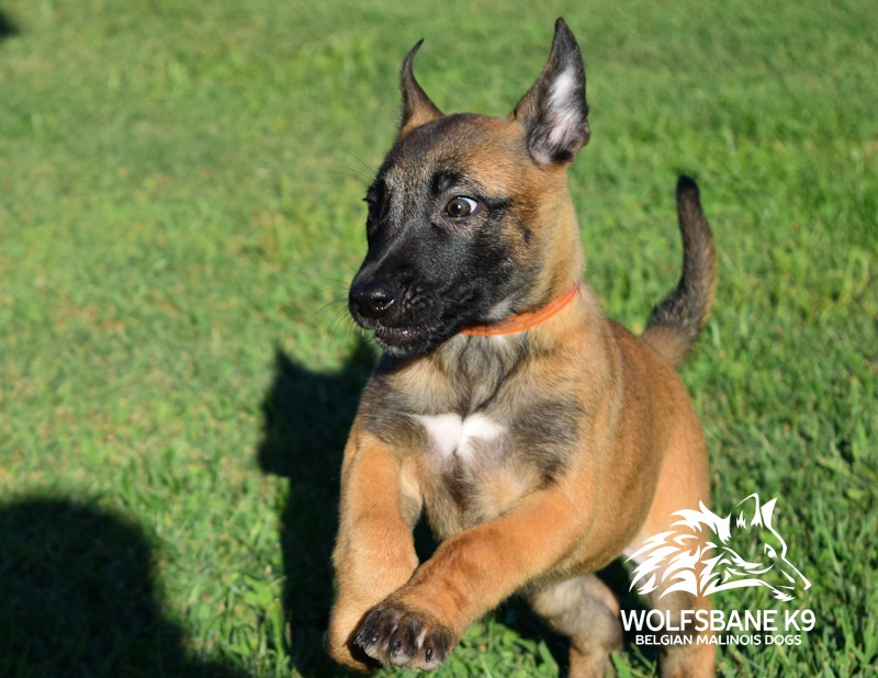 Real Cost of Protection Dog Training