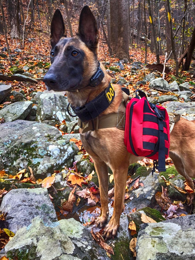 Belgian Malinois is The All Weather Dog