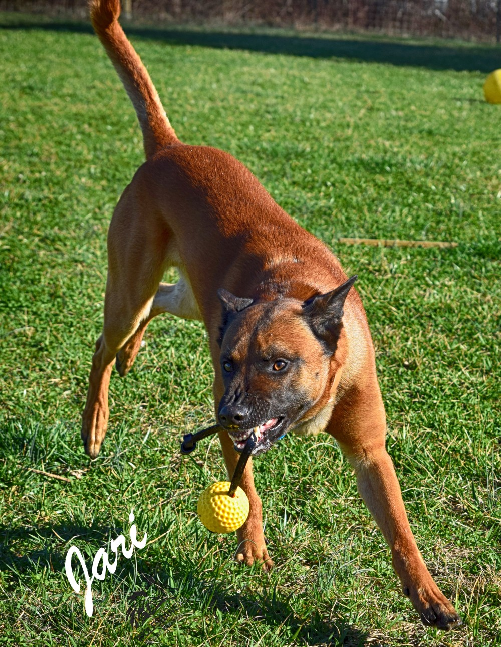 Belgian Malinois Protection Dog For Sale