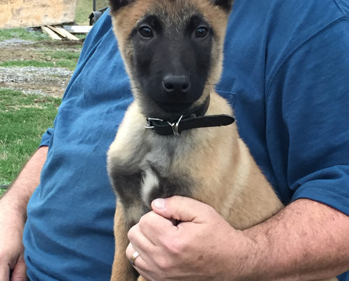 KNPV Malinois Puppies