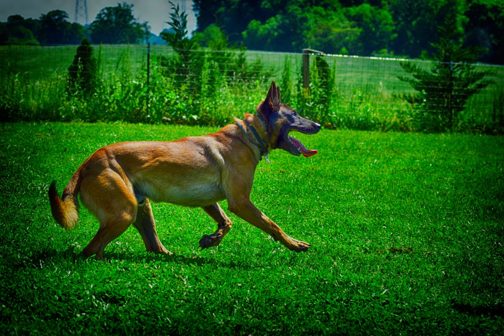 K9 Bartje – A Belgian Malinois With Holland's Best Bloodlines.