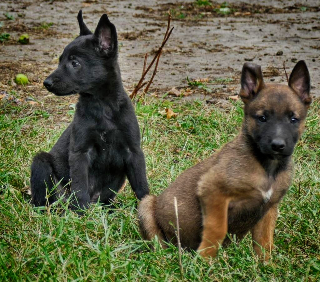 Belgian Malinois Puppies For Sale Right Now