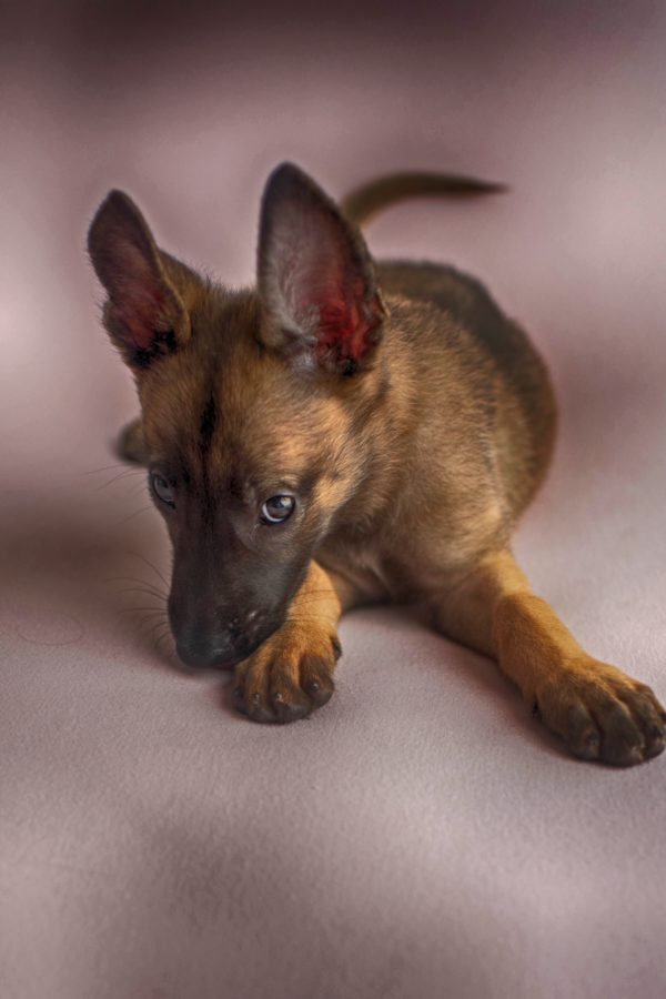 The Belgian Malinois Kennel or The Used Car Salesman