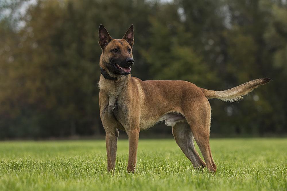 Belgian Malinois Protection Dog