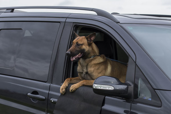 Belgian Malinois Personal Protection Dog