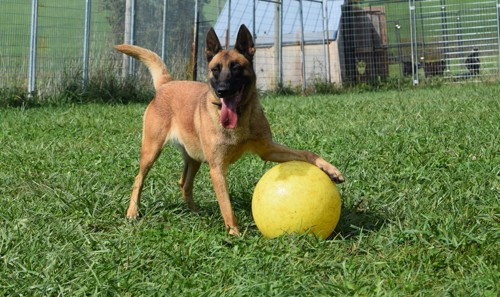 Belgian Malinois For Sale California