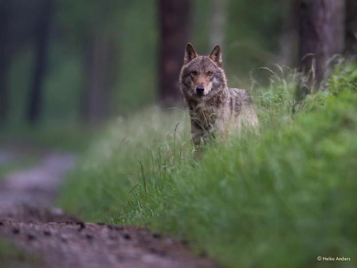 Wolf (Foto: Wildtierfotograf Heiko Anders)