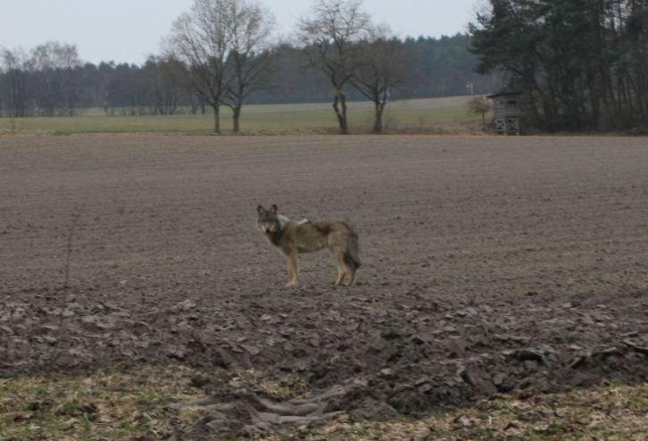 Verletzter Wolf, Bild 1, 18.5.2016