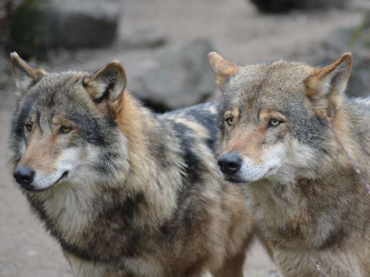 """""""Romulus"""" (links) und """"Remus"""" aus dem Tierpark Nordhorn"""