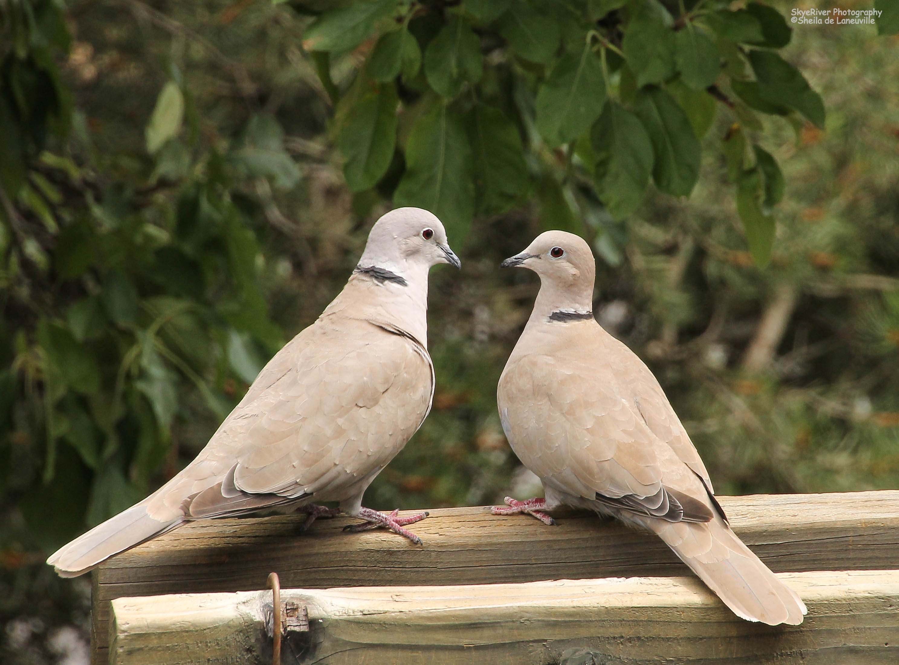 Kissing Wallpapers With Love Quotes Sbs Eurasian Collared Dove Wolf Song Blog