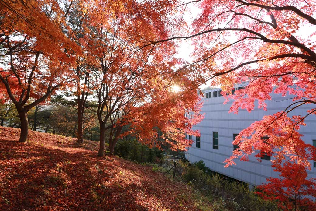 Red maple trees behind the Holy Son's House of Love in Wolmyeongdong (Autumn)