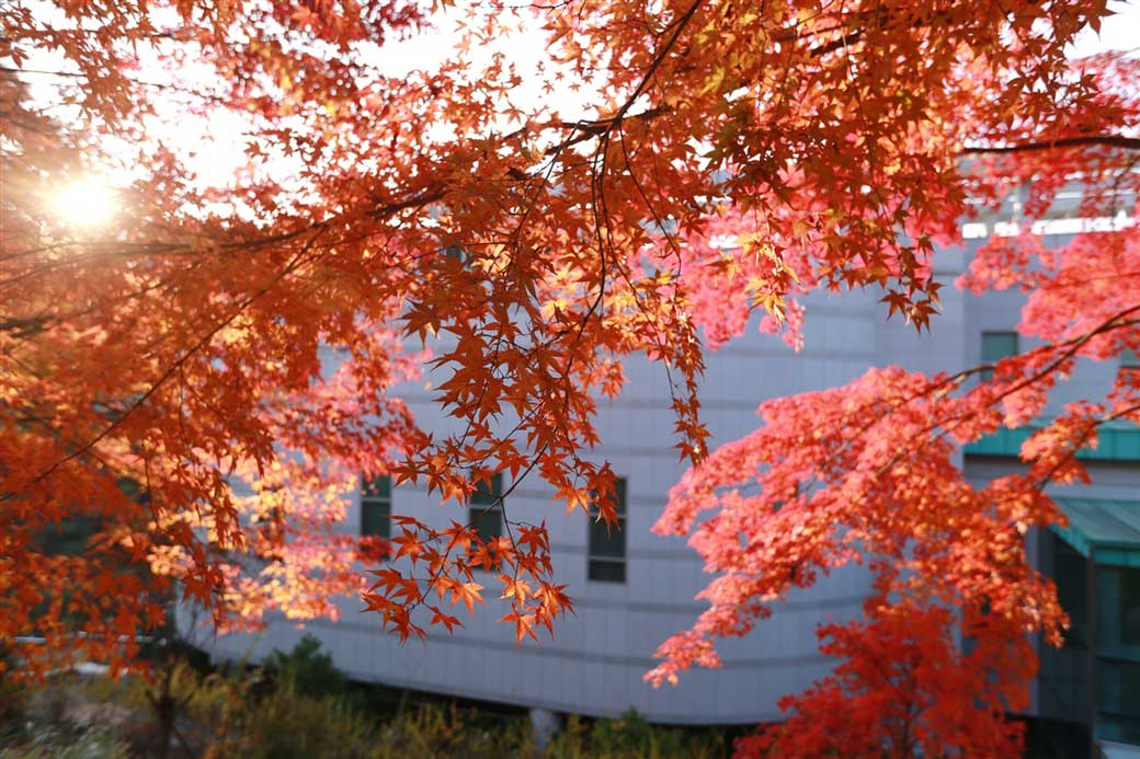 Close up of the red maple tree leaves behind the Holy Son's House of Love in Wolmyeongdong (Autumn)