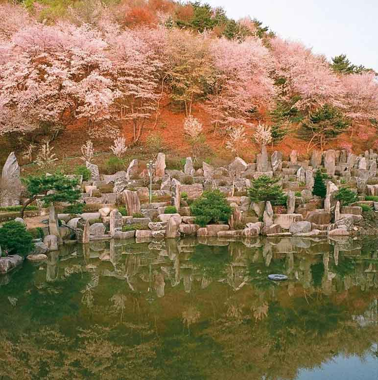 Cherry blossoms are fully bloomed above the lake pavilion surrounded by a rock landscape